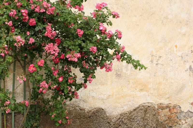 Rosa arbusto contra o contexto de paredes antigas imagens de stock