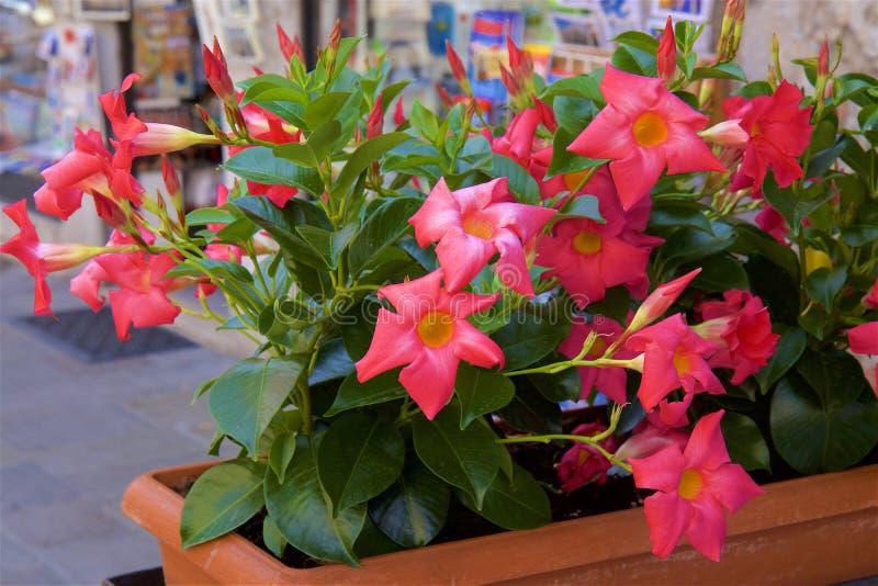 Rosa arbusto, Espanha imagem de stock