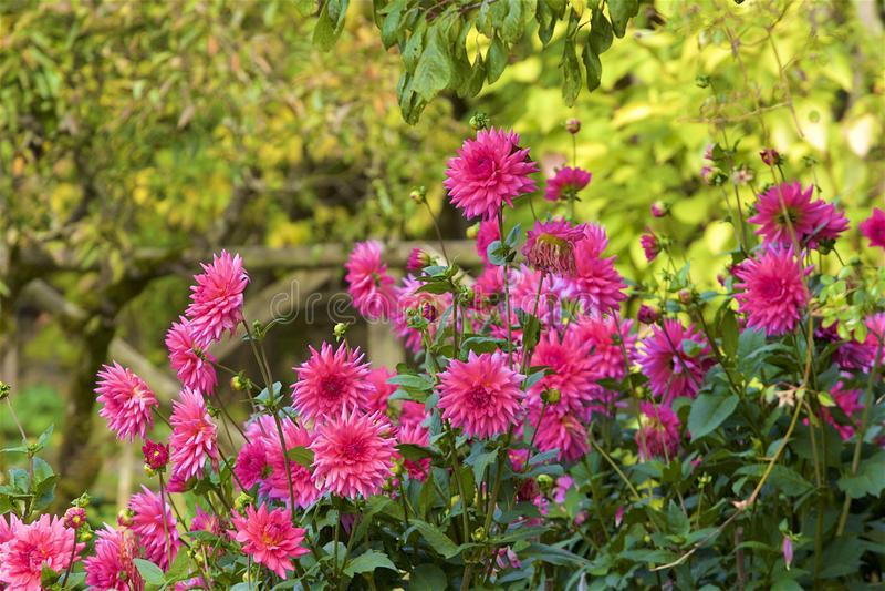 Rosa arbusto, Espanha foto de stock royalty free