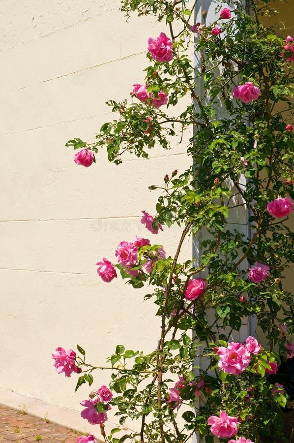 Rosa arbusto na entrada imagem de stock