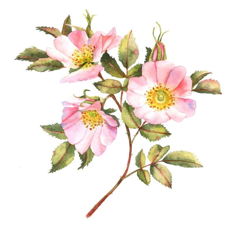 Rosa arbusto na flor ilustração do vetor