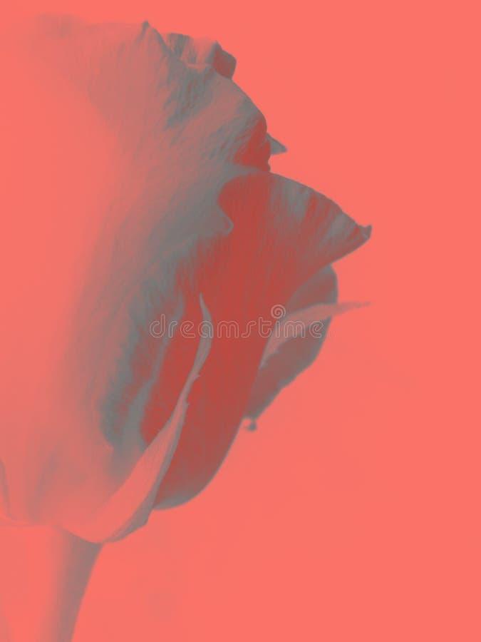 Rosa artística bonita no fundo coral de vida imagens de stock