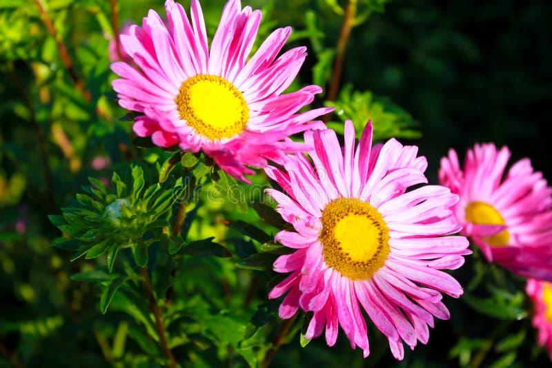 Download Rosa aster i trädgård fotografering för bildbyråer. Bild av blom - 76702071