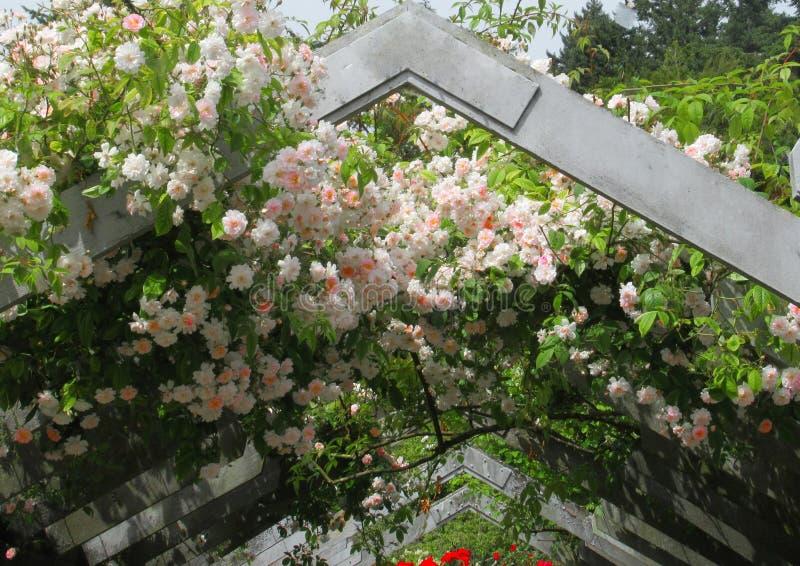 Rosa attraente splendido Rose Flowers che cresce sul supporto conico nel giardino del parco fotografie stock