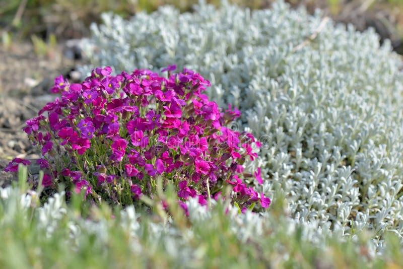 Rosa aubrietablommor som blommar i en rabatt i en tr?dg?rd fotografering för bildbyråer