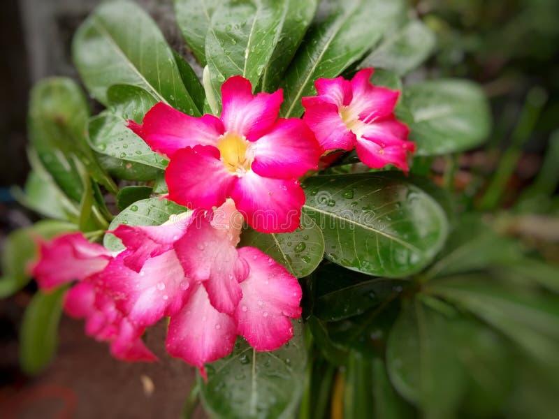 Rosa azalea på gröna sidor royaltyfria bilder