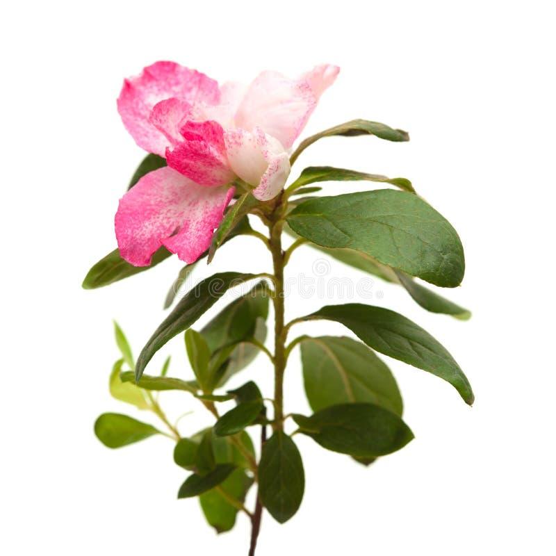 Rosa Azalee stockbild