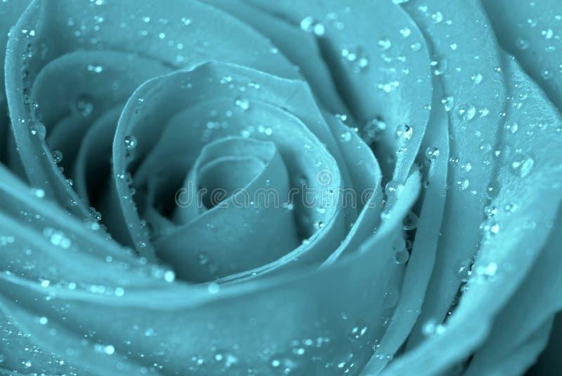 Rosa azul imagem de stock royalty free