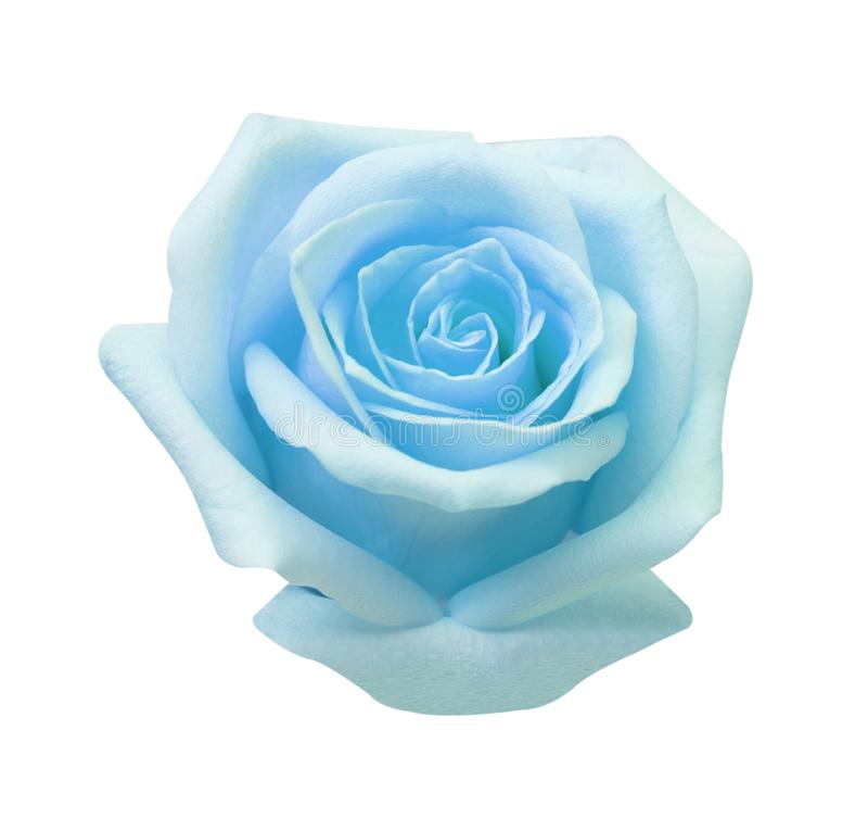 Rosa azul isolada no fundo branco, no foco macio e no trajeto de grampeamento foto de stock royalty free