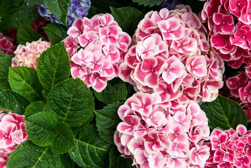 Rosa, azul, lila, violeta, flor púrpura de la hortensia (macrophylla de la hortensia) que florece en primavera y verano en un jar imagen de archivo