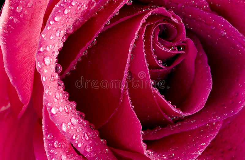 Rosa bagnata fotografie stock libere da diritti