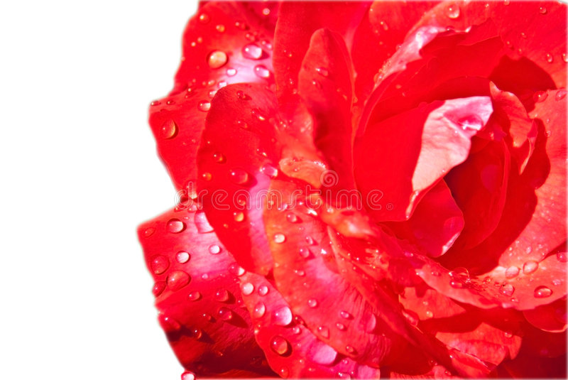 Download Rosa bagnata isolata fotografia stock. Immagine di oggetto - 7303942