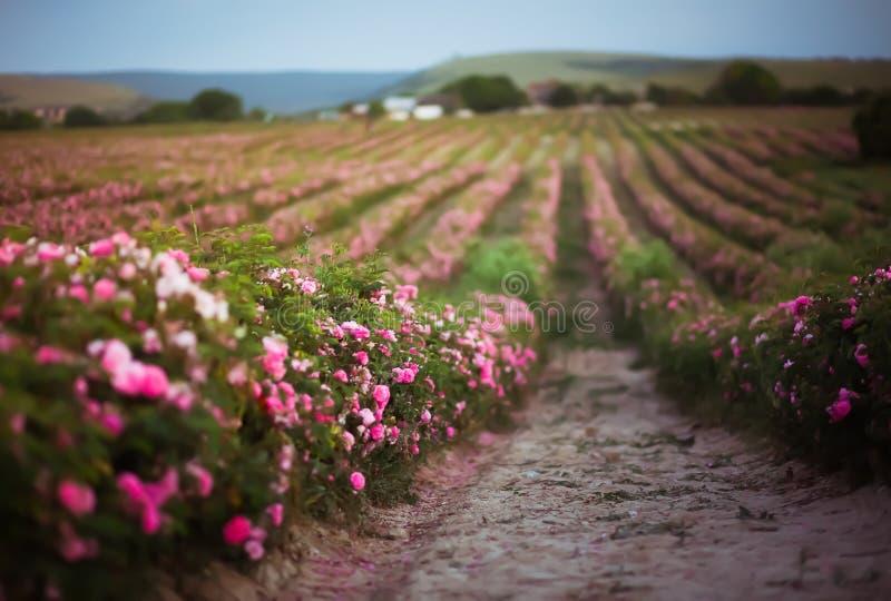 Rosa bakgrund för fält för Rosa damascenabuske Rosa form för natular oljor för aromatherapy och för skönhetsmedel field blommapin royaltyfria foton