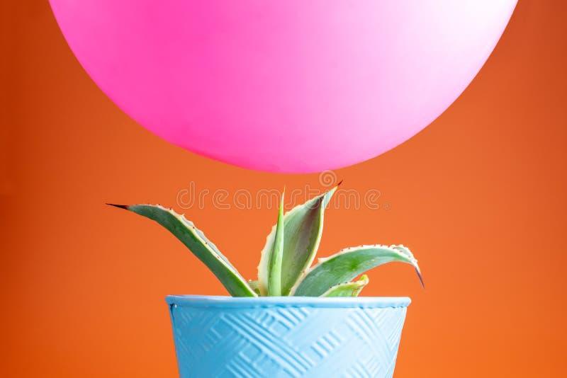 Rosa Ballon, der über Kaktus schwebt stockfotos