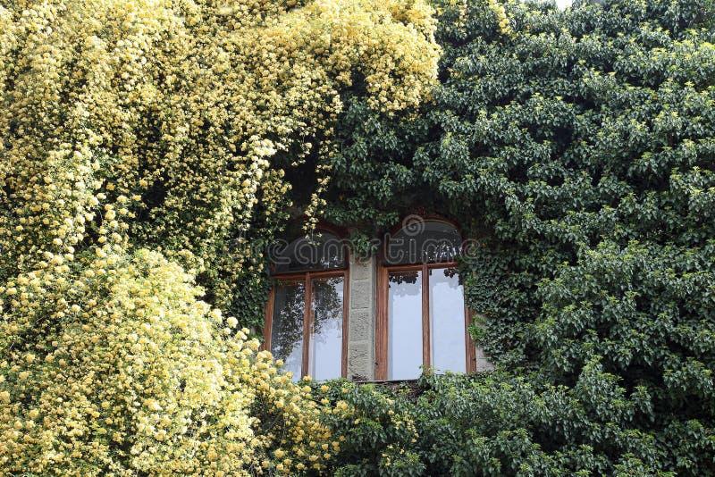 Rosa banksiae runt om fönstret royaltyfri foto