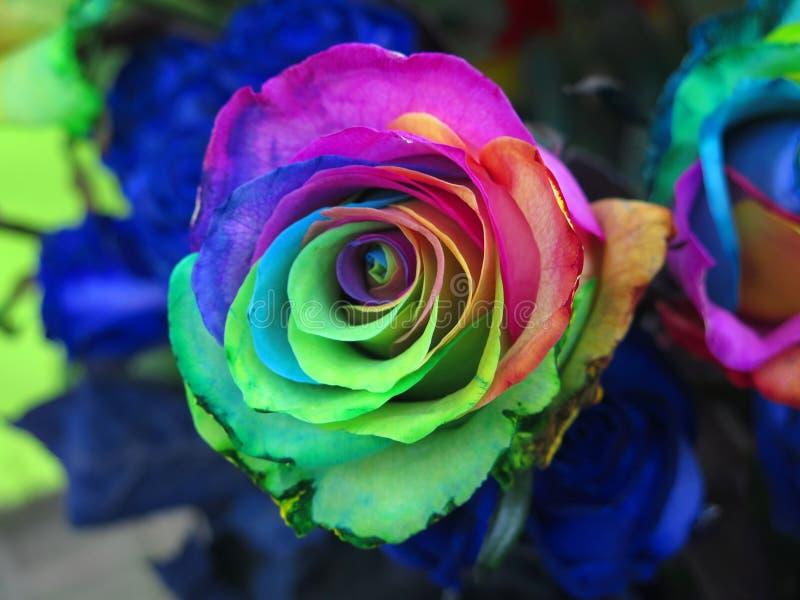 Rosa bastante multicolora fotos de archivo