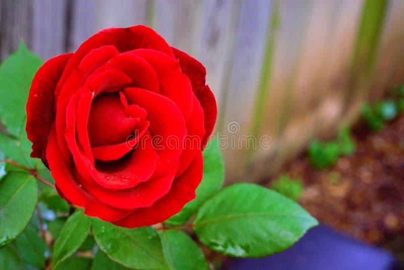 Rosa bastante roja fotografía de archivo