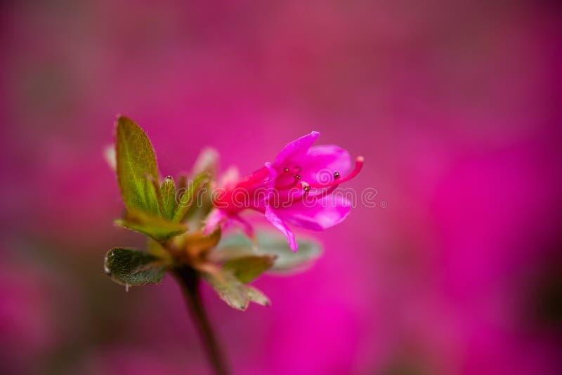 Rosa Baum Blosson lizenzfreies stockfoto