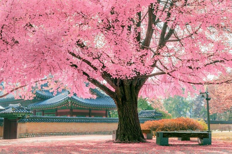 Rosa Baum in Gyeongbokgung stockfoto