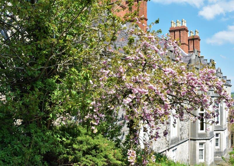 Rosa Baum und Häuser in Armagh-Stadt lizenzfreie stockfotografie