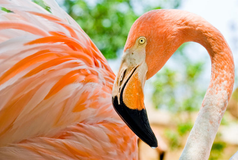 rosa bedöva för tät flamingo upp royaltyfri bild