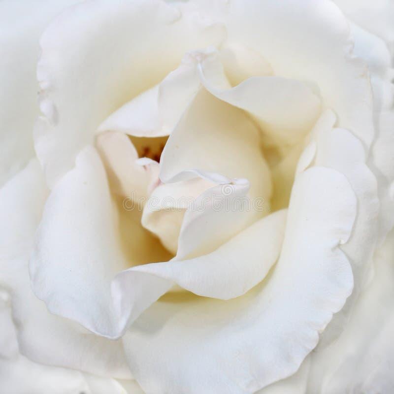 Rosa bianca fotografia stock