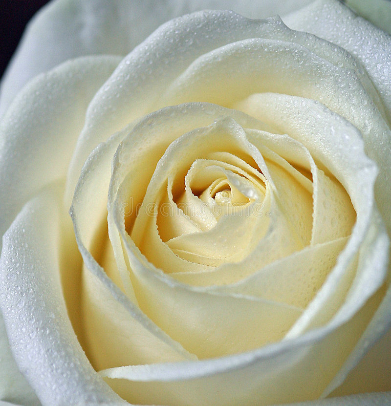 Rosa bianca immagini stock