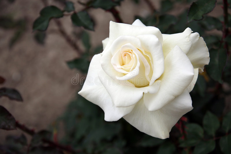 Rosa bianca isolata fotografie stock