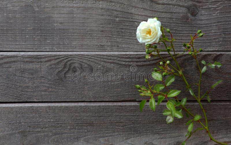 Rosa bianca selvatica davanti a vecchio e legno d'annata grigio stagionato immagine stock libera da diritti