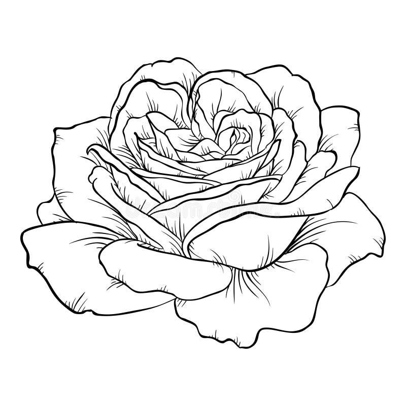 Rosa in bianco e nero isolata su fondo bianco illustrazione vettoriale