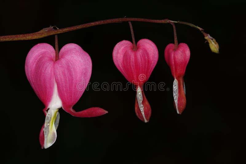 Rosa blödande hjärta royaltyfri foto