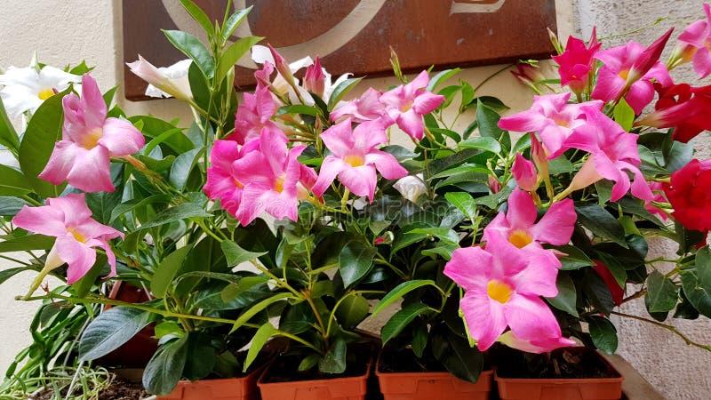 Rosa blühende Blumen stockbilder