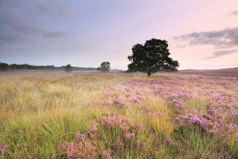 Rosa blühende Heide auf Wiese lizenzfreie stockbilder