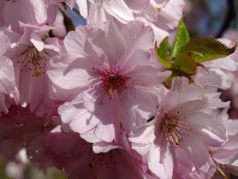 Rosa blühende Mandelbaumblüten erinnern uns, dass Frühling schließlich angefangen hat stockbilder