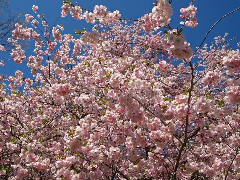 rosa bl hender baum stockfoto bild von umgebung april. Black Bedroom Furniture Sets. Home Design Ideas
