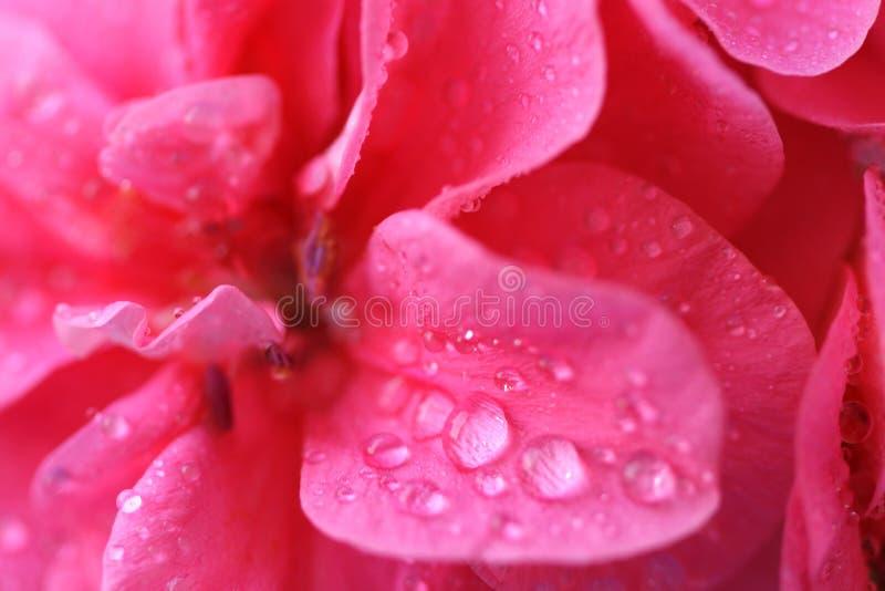 Rosa blüht Hintergrund _3 lizenzfreie stockfotos