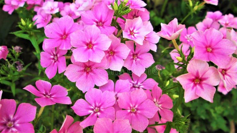 Rosa blüht Hintergrund _1 stockfoto
