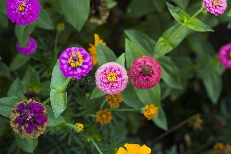 Rosa blüht Zinnia elegans im Garten, Draufsicht stockfoto