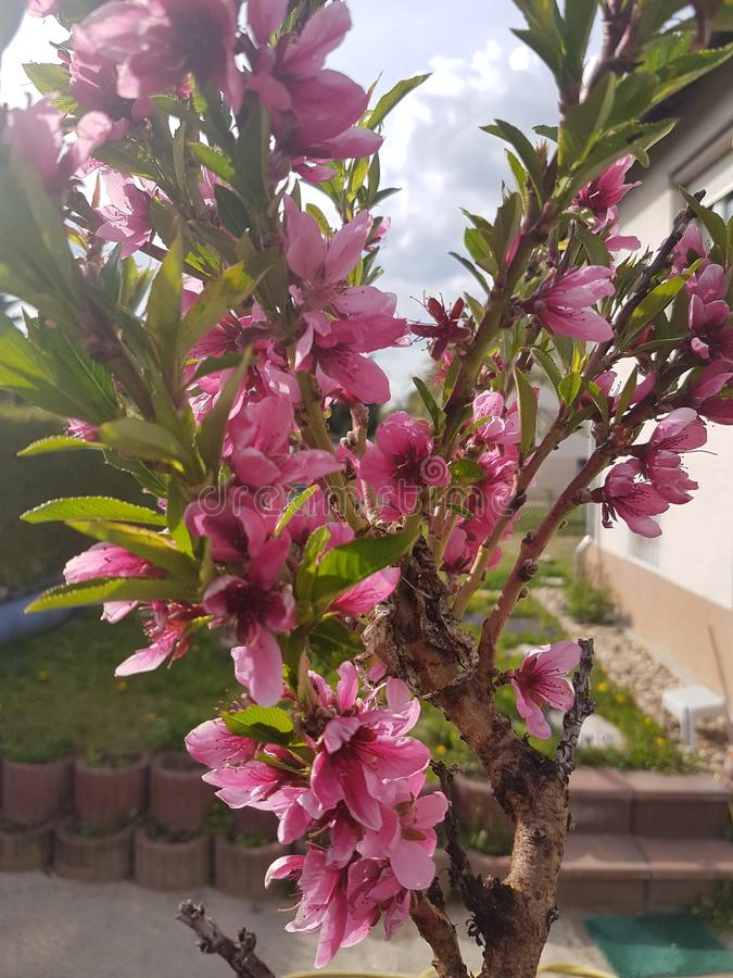 Rosa Blüten stockfotografie