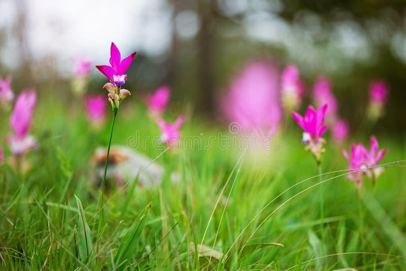 Rosa bl?ht Siam-Tulpe schönes Feld der Blume stockfoto