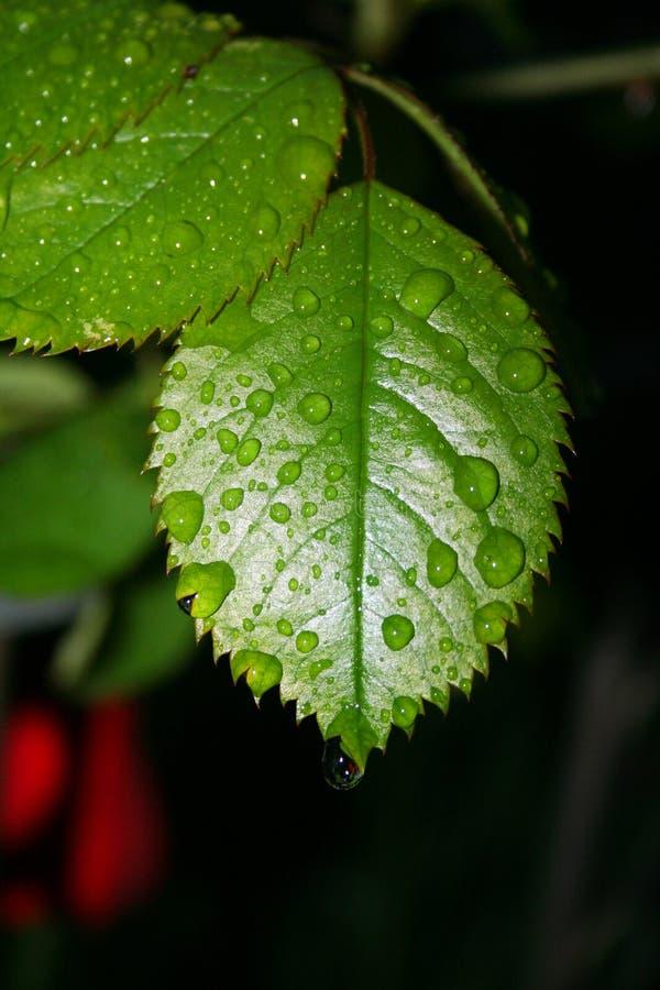 Rosa blad med regndroppar i trädgården arkivfoto