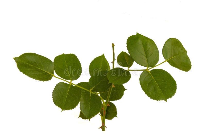 Rosa blad royaltyfria foton