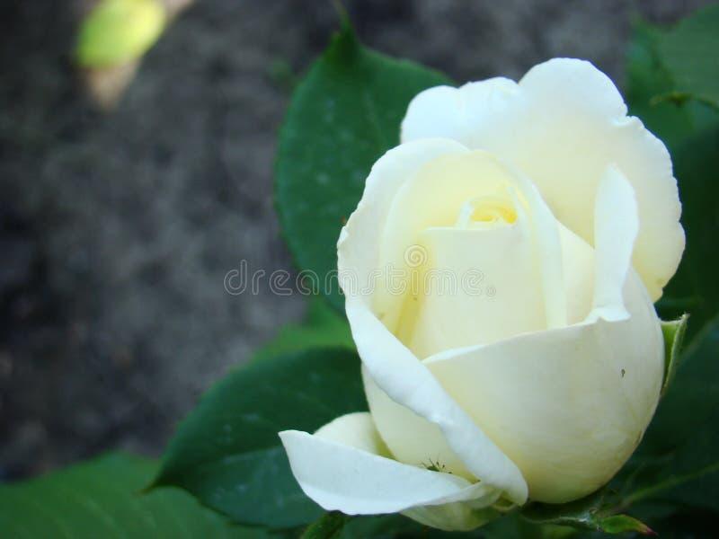 Rosa blanca, brote color de rosa blanco cerrado La foto de se levant? imágenes de archivo libres de regalías