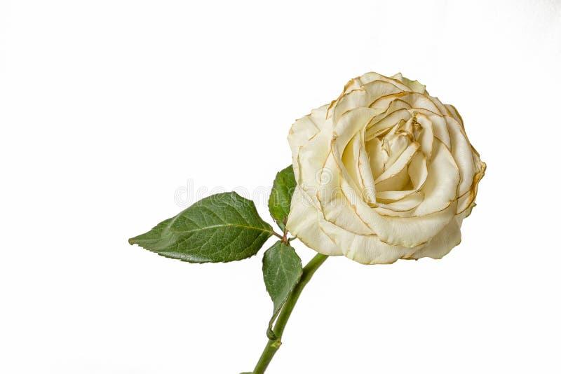 Rosa blanca del descoloramiento aislada en el fondo blanco imagen de archivo