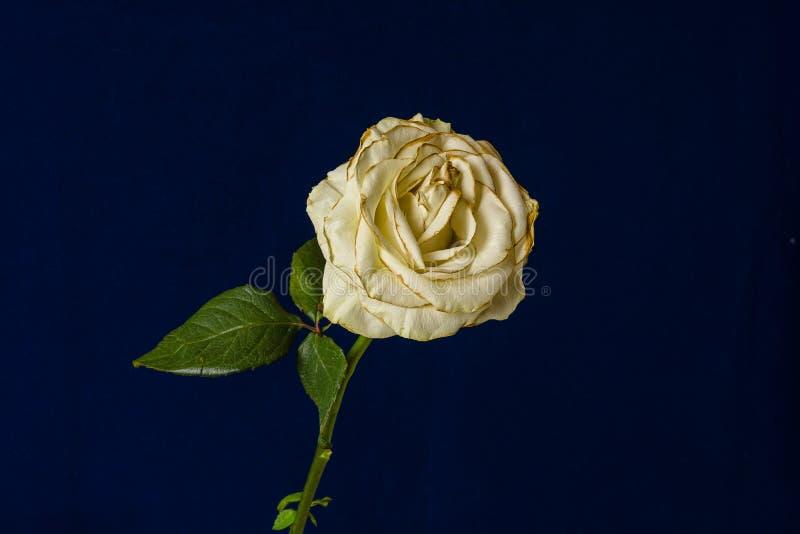 Rosa blanca del descoloramiento aislada en fondo azul marino fotos de archivo libres de regalías