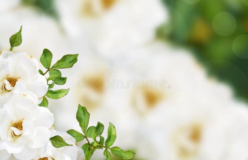 Rosa blanca, fondo hermoso de la flor fotos de archivo