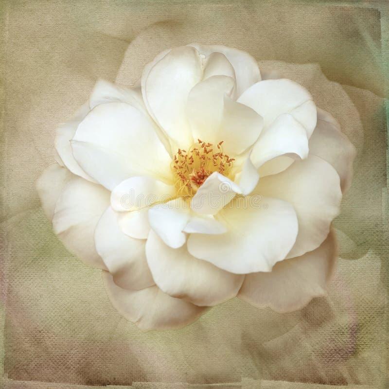Rosa blanca macra en el papel pintado del vintage del arte stock de ilustración
