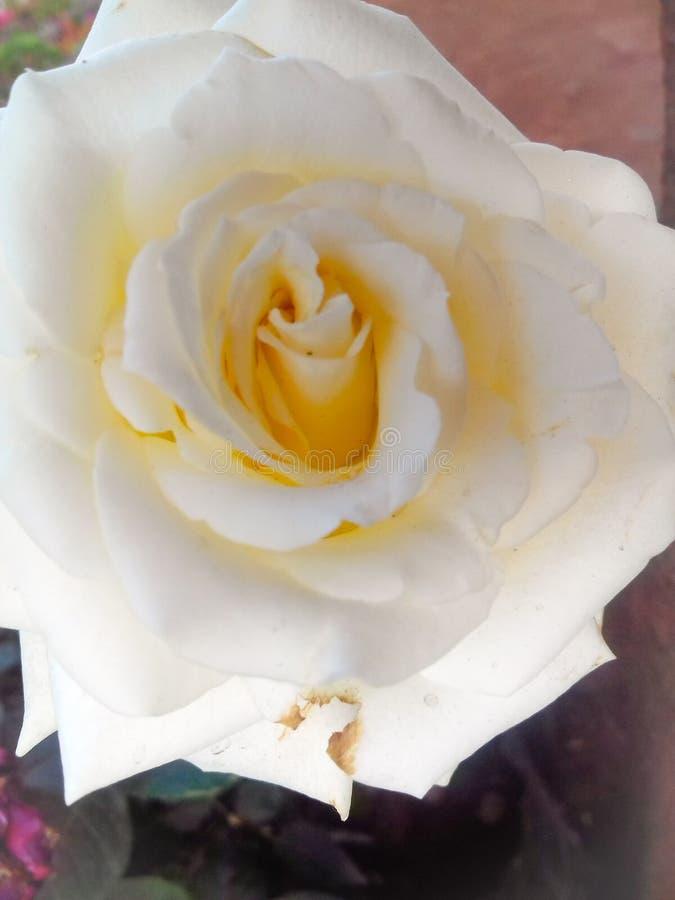 Rosa blanca y fresca hermosa con descensos del agua imagen de archivo libre de regalías