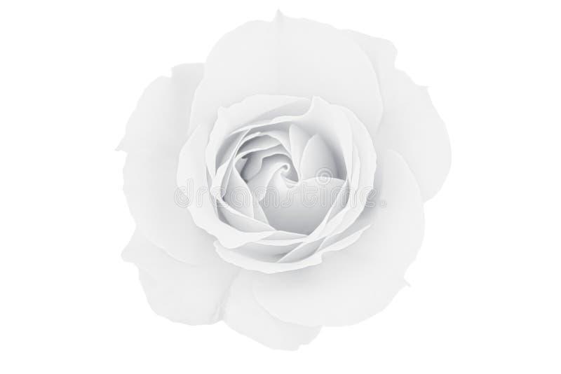 Rosa blanco y negro en blanco imagen de archivo libre de regalías