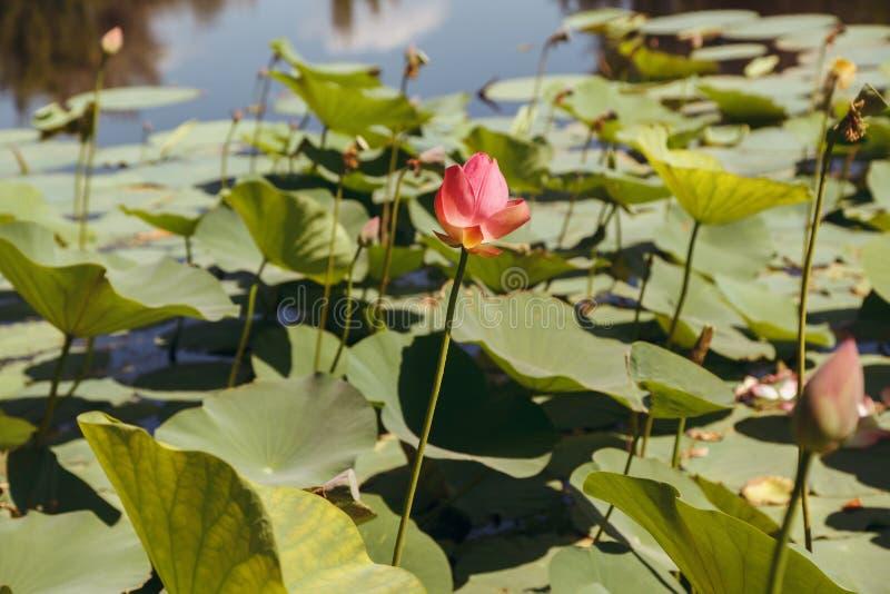 Rosa blomma av en lotusblomma arkivbilder